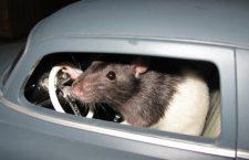 Grigny : la commune et le Grand-Lyon se disputent la dépouille… d'un rat !